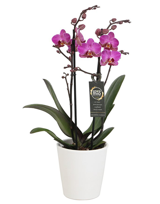 orchidee met pot € 25
